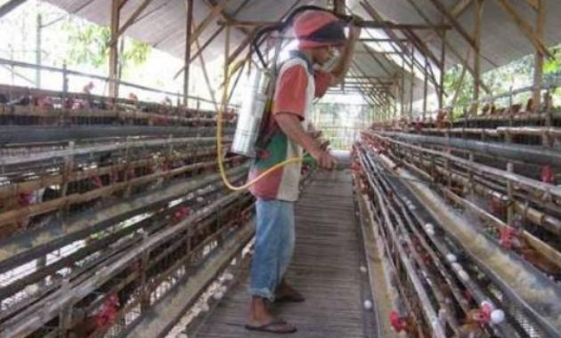Cara Ternak Ayam Petelu