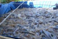 Tip Budidaya Ikan Lele