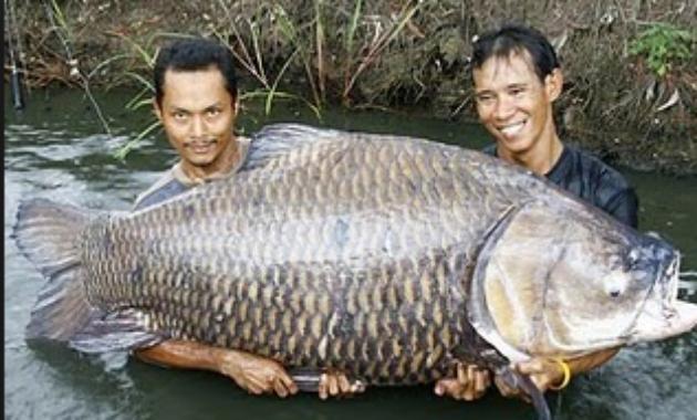 Cara Budidaya Ikan Gurame Pakan Klam Tanah Obat Vitamin Daun Harga