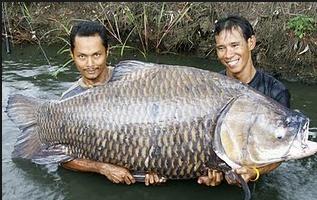 16 Cara Sukses Memelihara Ikan Gurame
