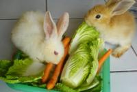 Cara Ternak Kelinci