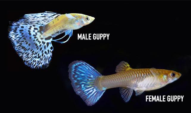 √ Cara Ternak Ikan Guppy Dengan Mudah