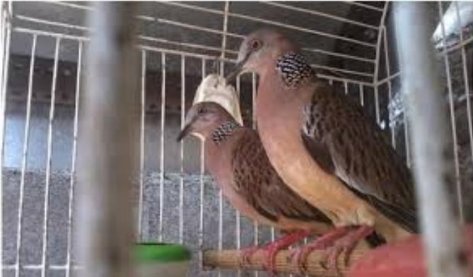 √ Cara Ternak Burung Tekukur Dari Pemilihan Kandang Hingga Penangkaran