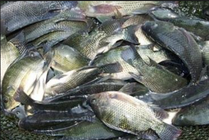 √ Cara Ternak Ikan Nila : Memilih Benih, Persiapan Kolam, Penebaran Benih Dll