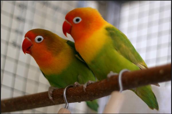√ Cara Ternak Burung Lovebird : Persiapan Tempat, Induk, Ciri dan Penjodohannya