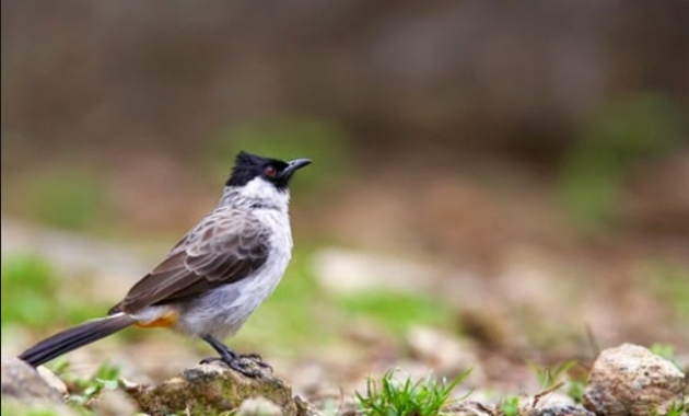 √ Cara Ternak Burung Kutilang : Ciri, Pemberian Pakan dan Pemeliharaanya