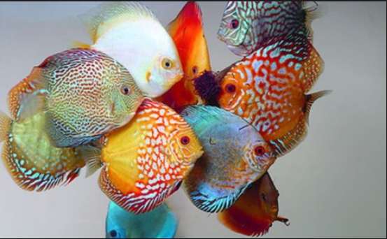 Terdapat banyak jenis ikan discus yang diantaranya ialah Red Turquoise Discus, Brilliant Blue Discus, Melon Gold Discus, Golden Albino Discus, Pigeon Blood ...