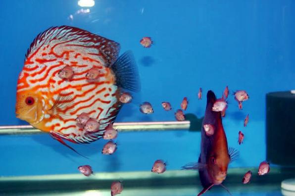 Cara Ternak Ikan Discus
