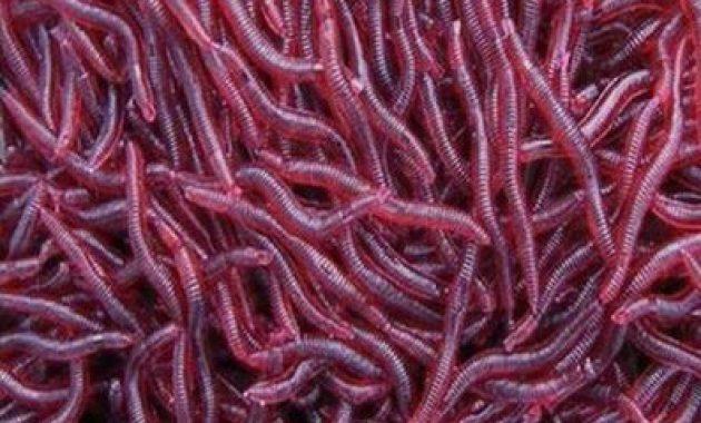 Cara Budidaya Cacing Merah