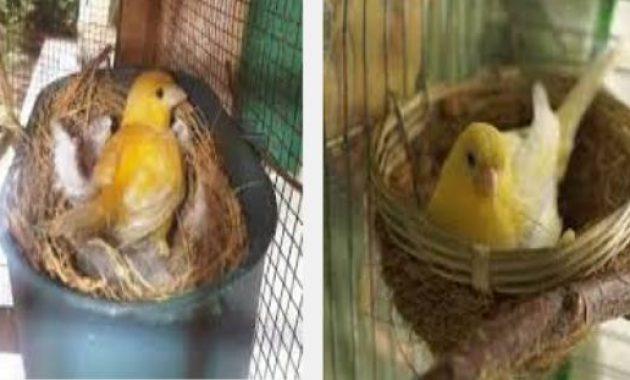 Cara Ternak Burung Kenari