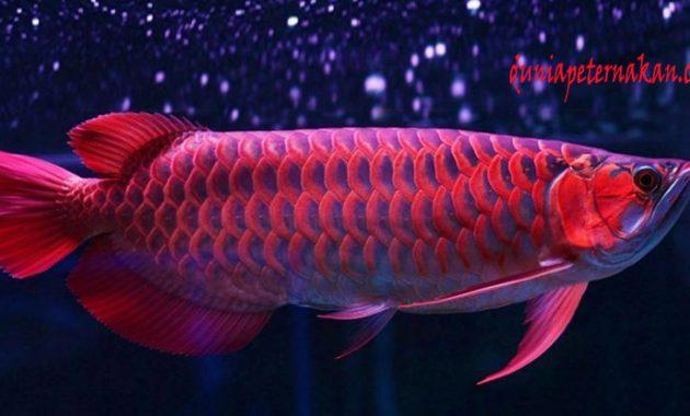ikan arwana super red