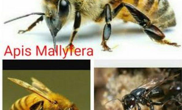 Cara Budidaya Lebah