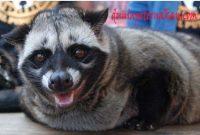 Musang Pandan