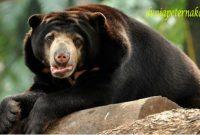 manfaat beruang madu