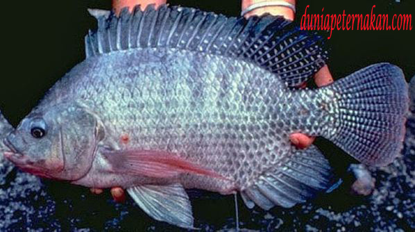 Cara Budidaya Ikan Nila