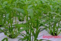 Cara menanam kangkung hidroponik