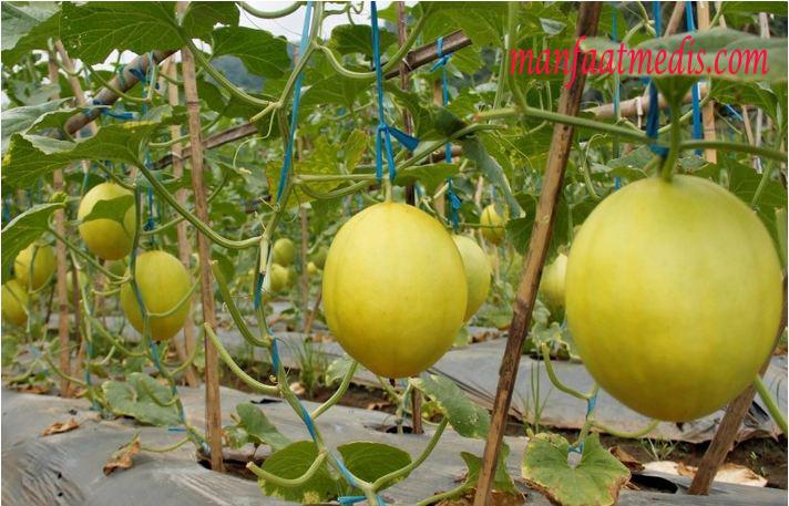 Cara menanam melon untuk pemula