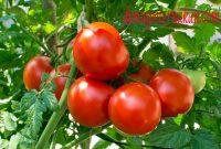 Cara menanam tomat di kebun