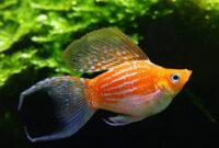 budidaya ikan hias guppy, budidaya ikan hias rainbow, cara memelihara ikan hias di akuarium, ikan hias air tawar, cara budidaya ikan hias arwana, merawat ikan hias di akuarium kecil,
