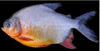 cara budidaya ikan bawal