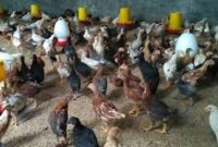 ayam joper