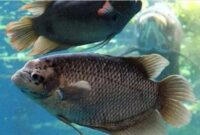 jenis ikan gurame