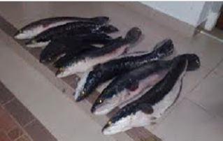 jenis pakan ikan toman