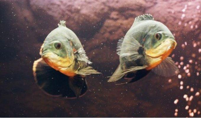 beda ikan jantan dan betina