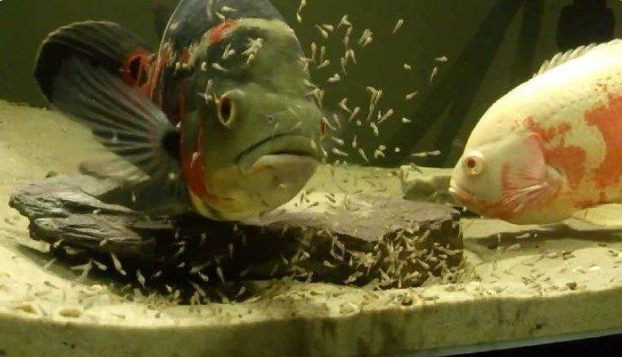 cara memijah ikan oscar