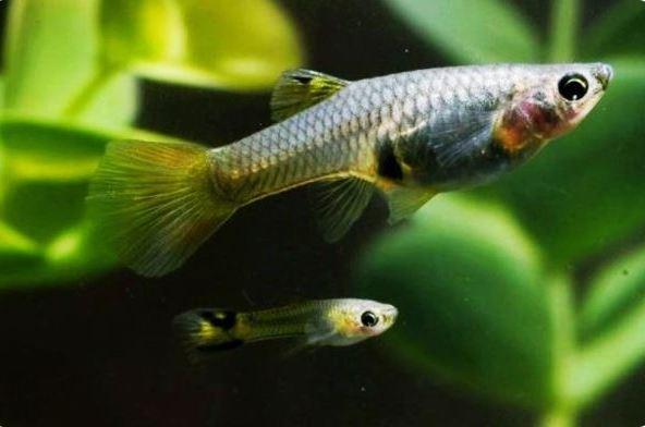 ikan guppy cepat beranak
