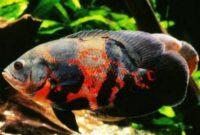 ikan oscar