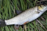 Cara Mancing Ikan Belanak