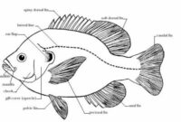 Morfologi Ikan Mujair