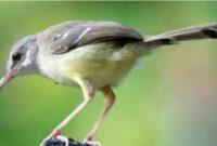 Cara Merawat Burung Ciblek