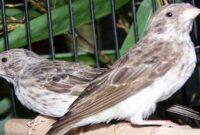 Cara Ternak Burung Blackthroat