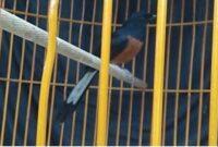 cara menyembuhkan burung stres, obat burung stres paling ampuh, obat anti stres burung, ciri ciri burung kacer stres, ciri ciri perkutut stres cara mengatasi burung stres akibat sangkar jatuh, ciri ciri burung mau mati, ciri ciri murai batu stres,