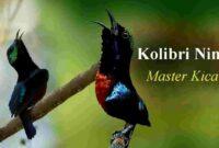 Harga Burung Kolibri Ninja