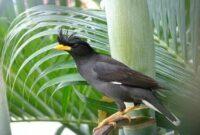 Mengenal Burung Jalak Kebo