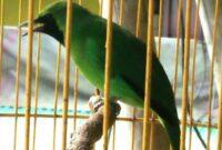 burung kelas atas