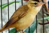 cara merawat burung kerak basi
