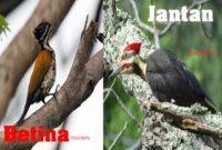 cara merawat burung pelatuk bawang