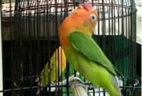 perawatan lovebird single fighter