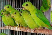 ternak burung serindit