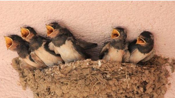 Cara Budidaya Burung Walet