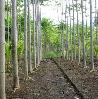 Cara Menanam Pohon Sengon