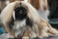 Cara Merawat Anjing Peking
