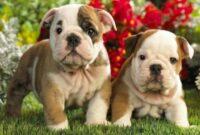 Jenis dan harga anjing bulldog