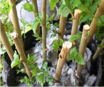 batang kayu hiyas