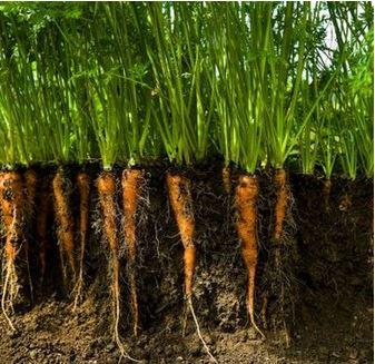 budidaya tanaman wortel