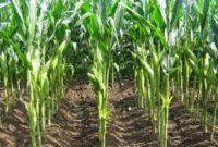 cara menanam jagung di sawah